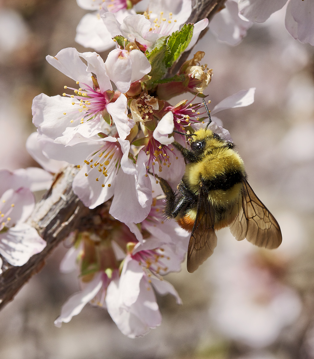 bee in blossoms.jpg