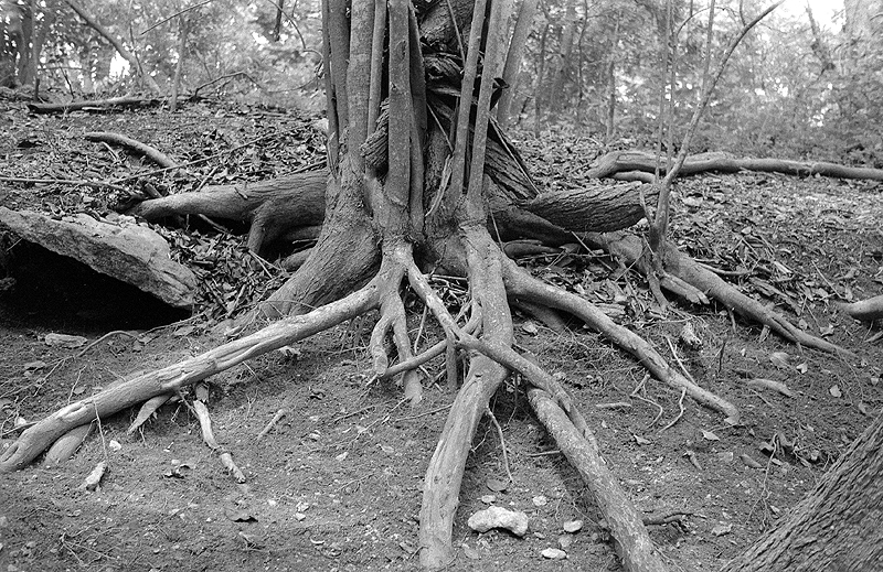 tree roots, Foma 200 in Rodinal semi stand.jpg