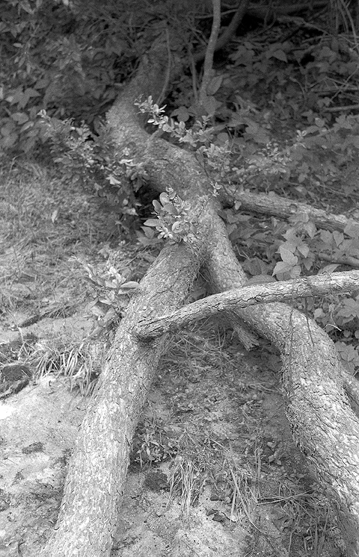 tree roots, Foma 200 in Rodinal semi stand 2.jpg