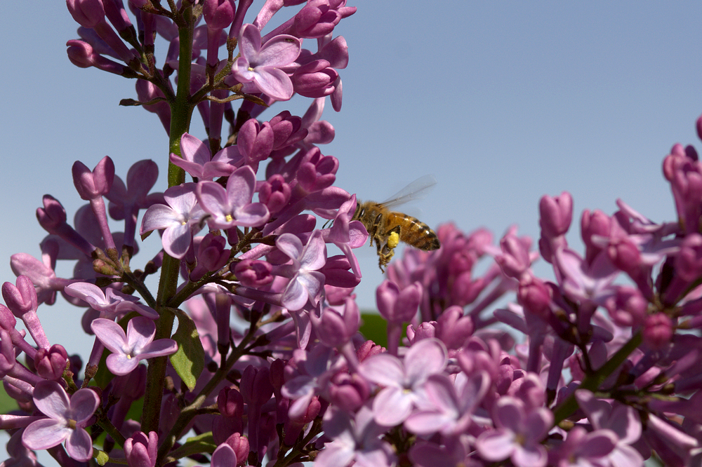 working the lilac.jpg