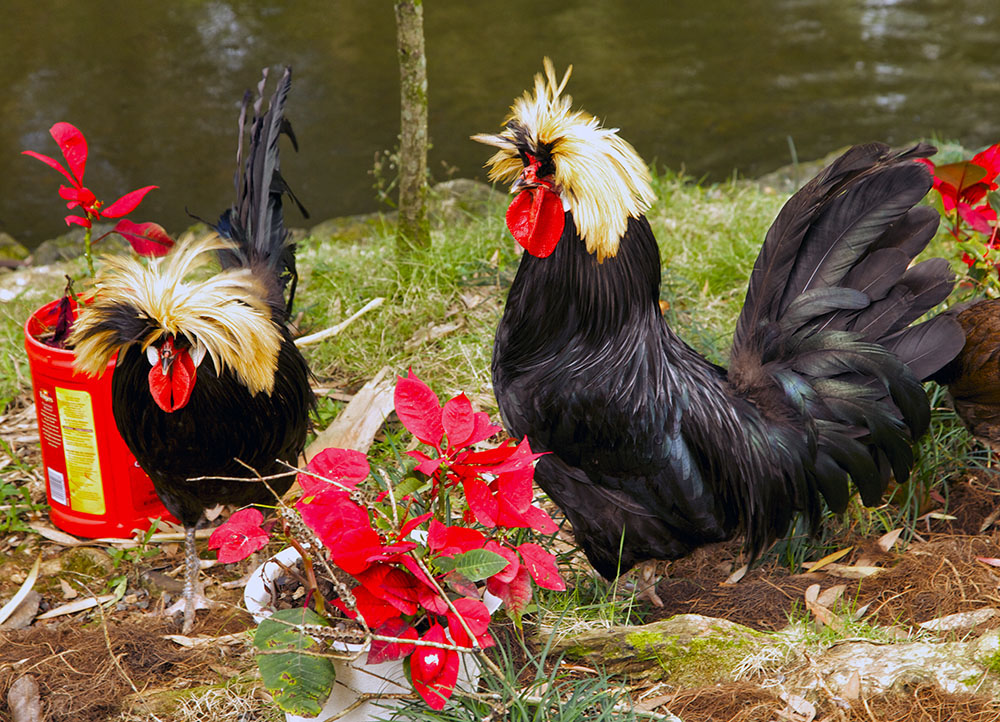 colorful chickens.jpg