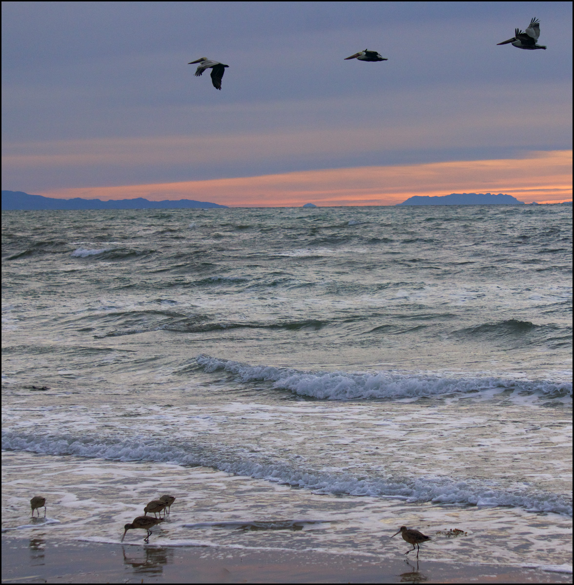 pelicans and godwits coal oil point.jpg