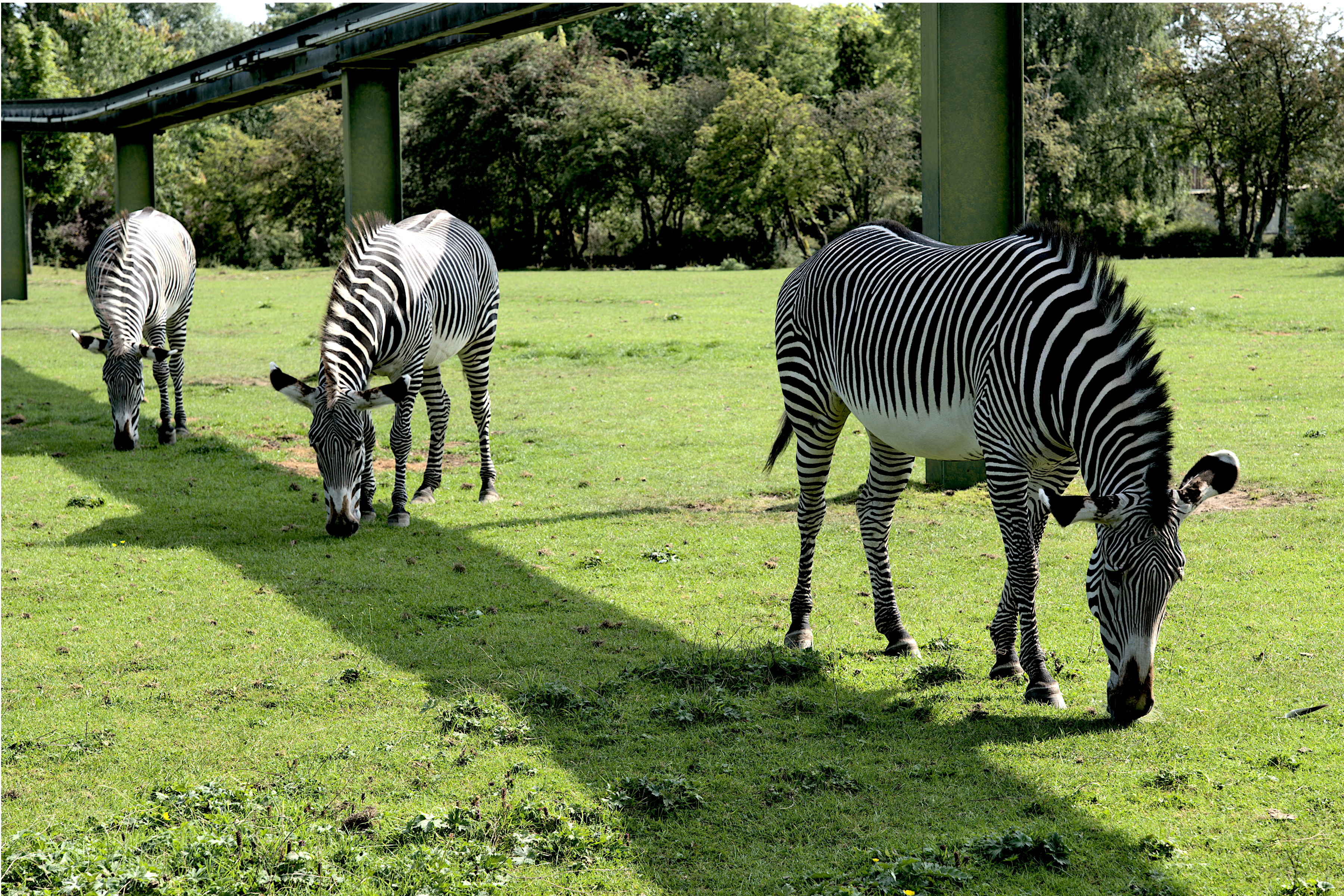 Three Zebras of Chester Zoo Low Res_1001314.jpg